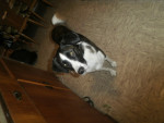 Chien kira - Border Collie Femelle (4 ans)