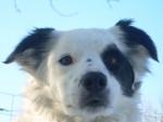 Chien Lady - Border Collie Femelle (6 ans)