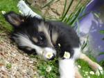 Chien doudoune - Border Collie Femelle (2 ans)