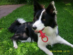 Chien galia - Border Collie Femelle (2 ans)