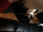 Chien Bear - Border Collie Femelle (2 ans)