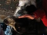Chien Levi - Border Collie Femelle (2 ans)