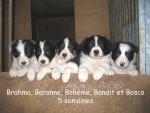 Chien border collie - Border Collie Femelle (0 mois)