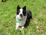 Chien Charly Border Collie - Border Collie  (0 mois)