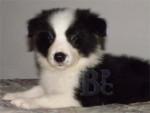 Chien Bella - Border Collie Femelle (4 mois)