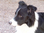 Chien Border collie Looping - Border Collie  (0 mois)
