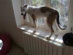 Chien border collie croisé dog argentin Nina - Border Collie Femelle (0 mois)