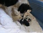 Chien CORA Border collie et ses petits  - Border Collie  (0 mois)
