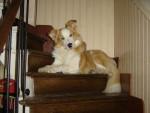 Chien Gold a 11 mois à sa place préférée - Border Collie Femelle (11 mois)