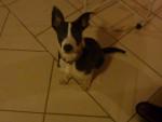 Chien lika - Border Collie Femelle (7 mois)