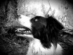 Chien Millie - Border Collie Femelle (3 ans)