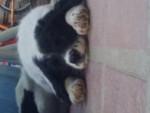 Chien Thor - Border Collie Femelle (2 mois)
