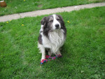 Chien Fifi chien de ma tante - Border Collie Femelle (5 ans)