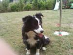Chien Babette - Border Collie Femelle (4 ans)