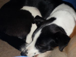 Chien Molly - Border Collie Femelle (0 mois)