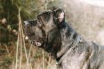Chien cane corso  thèo - Cane Corso  (0 mois)