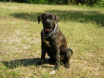 Chien boss cane corso - Cane Corso  (0 mois)