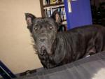 Chien cane corso attilla - Cane Corso  (0 mois)