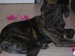 Chien BOSS cane corso 9 mois - Cane Corso  (9 mois)