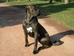 Chien Boss cane corso 11 mois - Cane Corso  (11 mois)