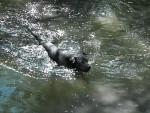 Chien Sharpei croisé cane corso - Cane Corso  (0 mois)