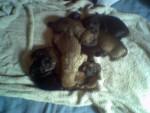 Chien Sharpei cane corso - Cane Corso  (0 mois)