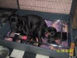 Chien Utha et ses bébés,cane corso - Cane Corso  (0 mois)