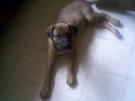 Chien Sharpei,cane corso, chien courant - Cane Corso  (0 mois)
