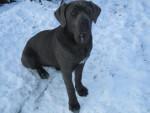 Chien et baghy toujours cane corso - Cane Corso  (0 mois)