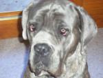 Chien cane corso Buster - Cane Corso  (0 mois)