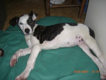 Chien CANE CORSO CROISE DOG ARGENTIN - Cane Corso  (0 mois)