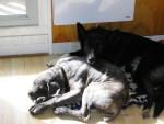 Chien buster cane corso - Cane Corso  (0 mois)