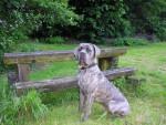 Chien buster ,cane corso - Cane Corso  (0 mois)
