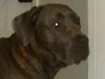 Chien boss mon cane corso - Cane Corso  (0 mois)