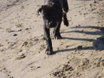 Chien cane corso caline - Cane Corso  (0 mois)