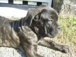 Chien cane corso El Che - Cane Corso  (0 mois)