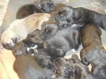 Chien borka cane corso - Cane Corso  (0 mois)