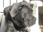 Chien  cane corso  - Cane Corso  (0 mois)