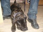 Chien El Che/ cane corso - Cane Corso  (0 mois)