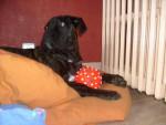 Chien El Che; cane corso - Cane Corso  (0 mois)