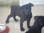 Chien cane corso emy - Cane Corso  (0 mois)