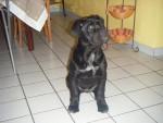Chien cane corso elfy - Cane Corso  (0 mois)
