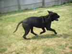 Chien cane corso cerbere - Cane Corso  (0 mois)