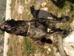 Chien cane corso diégo  - Cane Corso  (0 mois)