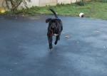 Chien cane corso cerbere - Cane Corso  ()