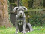 Chien ida cane corso - Cane Corso  (0 mois)