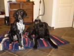 Chien Gino, Cane corso 10 mois et Gypsie femelle Braque - Cane Corso  (10 mois)