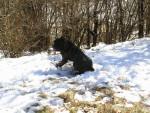 Chien Fesses dans la neige - Cane Corso  (0 mois)