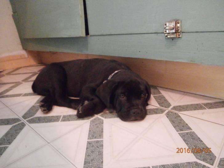 Chien Rocco - Cane Corso Mâle (4 mois)