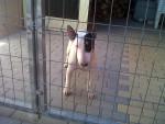 Chien Kira - Bull terrier Femelle (4 ans)